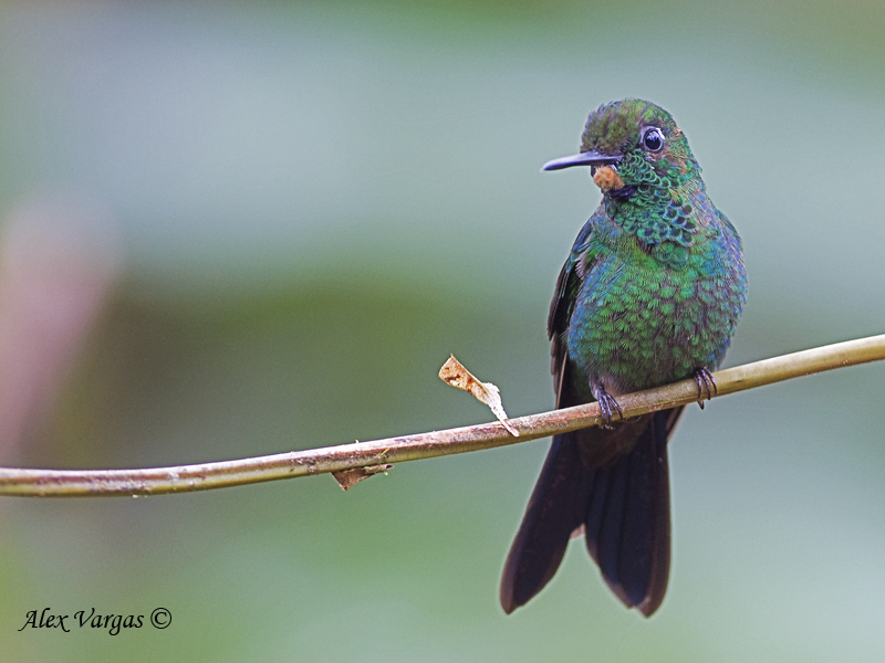 Green-crowned Brilliant 2010 - male - juvenile