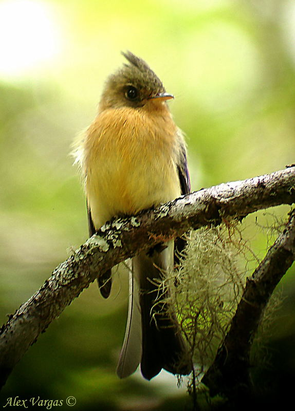 Tufted Flycatcher -digiscoped-