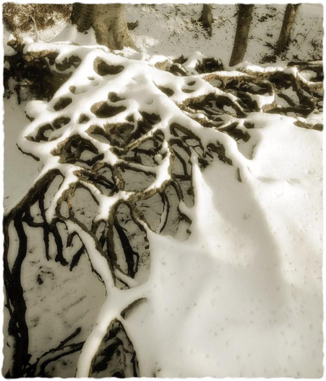 Beech roots, Randwick, Gloucs.