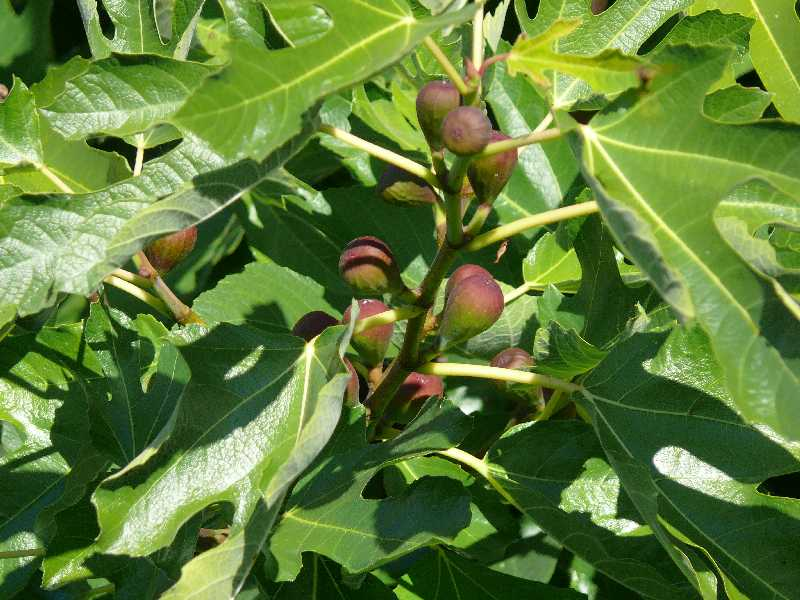 Figs Chemainus.jpg