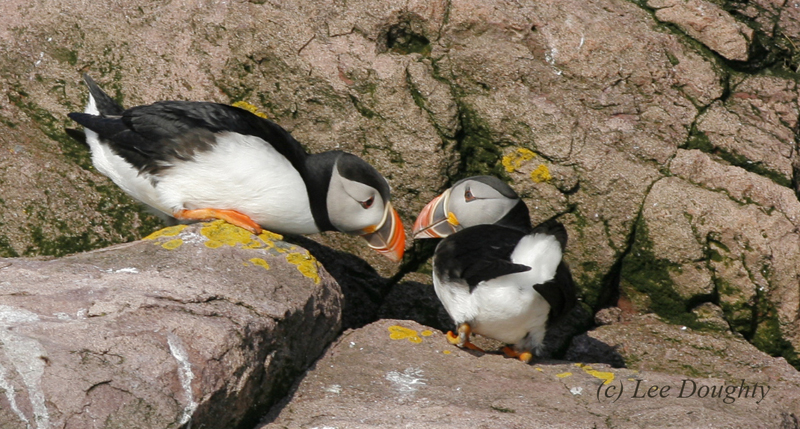 Atlantic Puffins Greeting