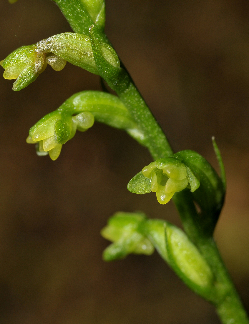 Benthamia sp. Close-up.
