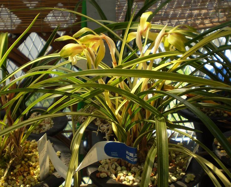 Cymbidium goeringii variegated in culture