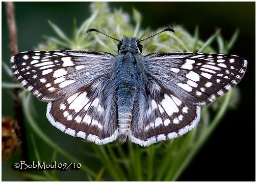 Common Checkered Skipper-Male
