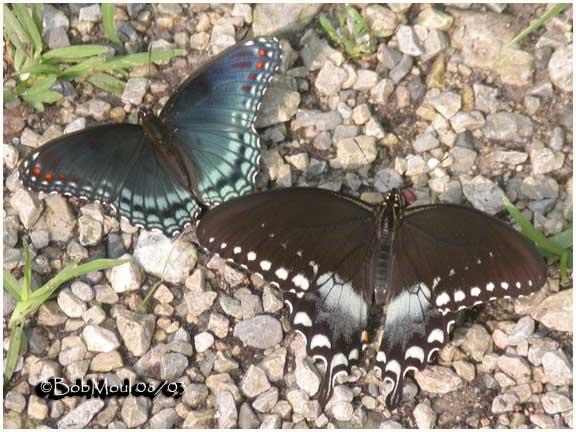 <h5><big>Red Spotted Purple & Spicebush Swallowtail<br></big></h5>