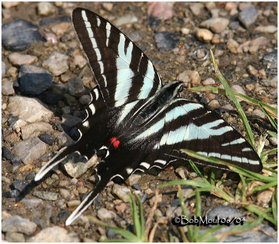 <h5><big>Zebra Swallowtail-Summer Form<br></big><em>Eurytides marcellus</h5></em>