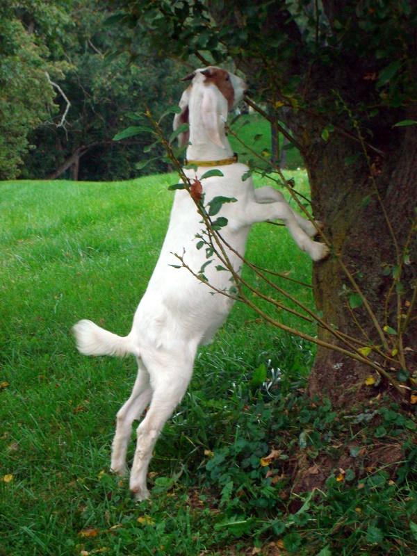 Goats 043.jpg
