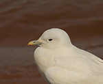 Ivory Gull sighted at West Point Lake Georgia