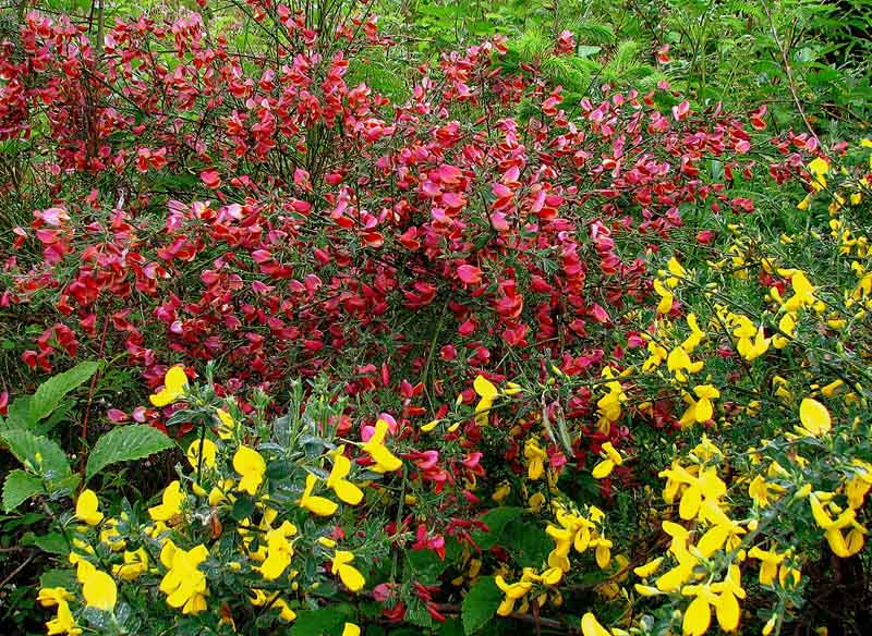 The Ying and the Yang of Scotch Broom