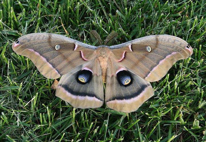 7757 - Antheraea polyphemus; Polyphemus Moth; male