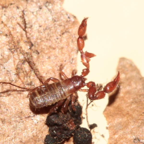 Pseudoscorpion photo - Stephen Luk photos at pbase com