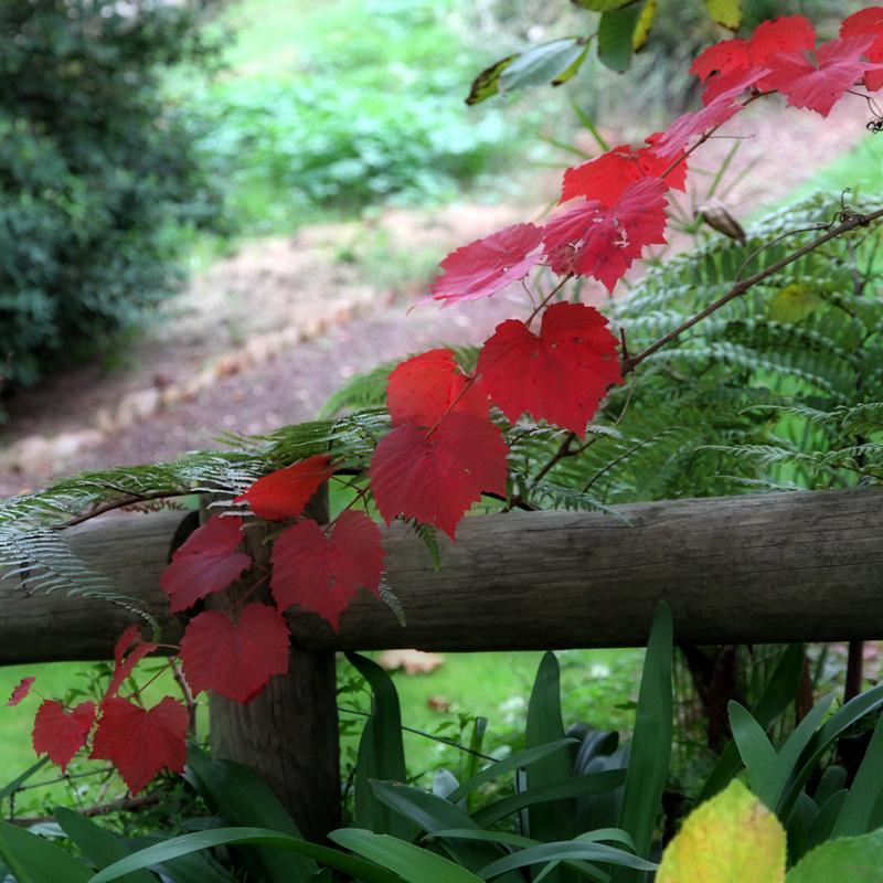 Glory vine  - soft focus