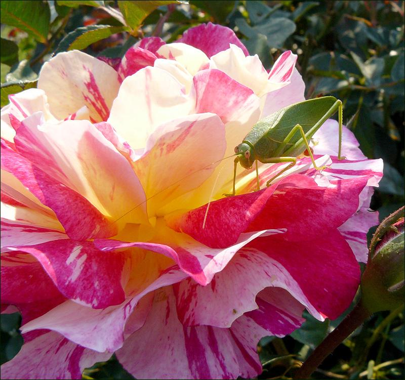 Delbard rose and grasshopper