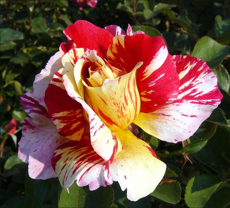 Delbard rose2