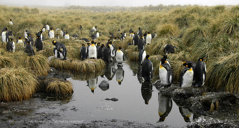 King Penguins, Gold Harbor  6