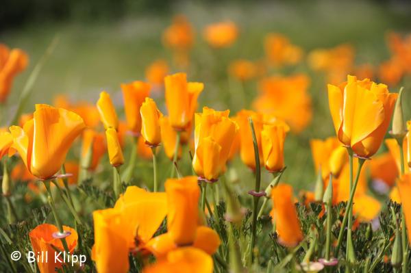 California Poppies 1