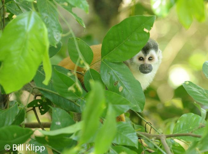 Squirrel Monkey,   Manuel Antonio   2