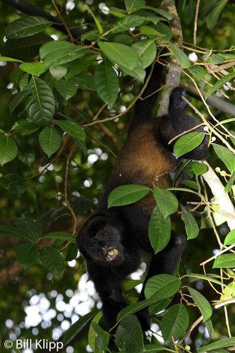 Howler Monkey,  Manuel Antonio   1