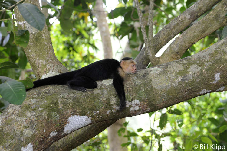 White Faced Capuchin Monkeys,  Manuel Antonio   1