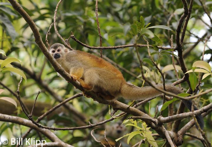Squirrel Monkey,   Manuel Antonio   1