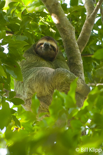 Three Toed Sloth,   Manuel Antonio   1
