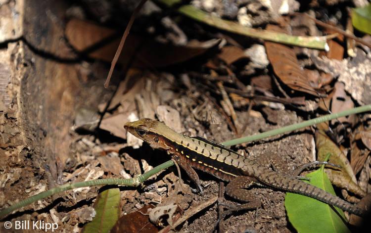 Whiptail Lizard,  Barro Colorado Island  1
