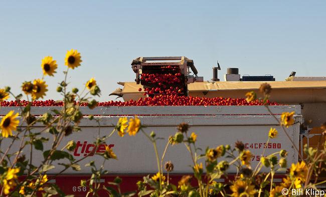 Byron Tomato Harvest   4
