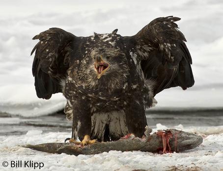 Juvenile Bald Eagle &  Salmon  3