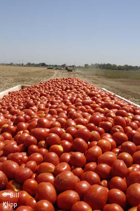 Delta Scenics Byron Tomato Harvest 3