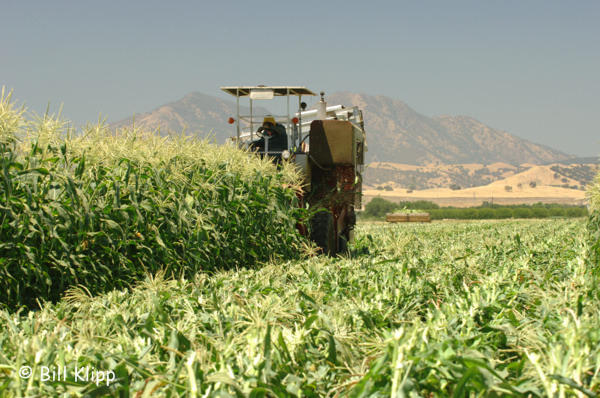 Brentwood Corn Harvest 1