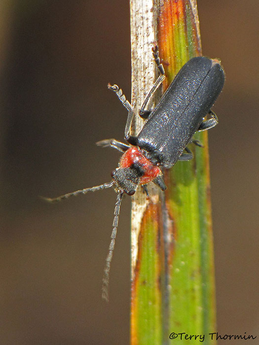 Cantharidae - Soldier Beetle B1a.jpg