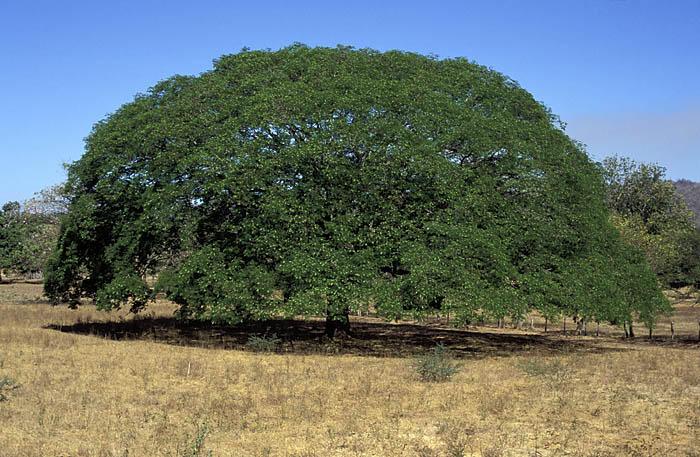 Guanacaste, Costa Ricas national tree