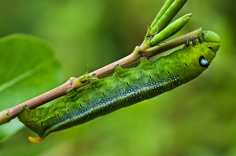 Caterpillar Hawk Moth
