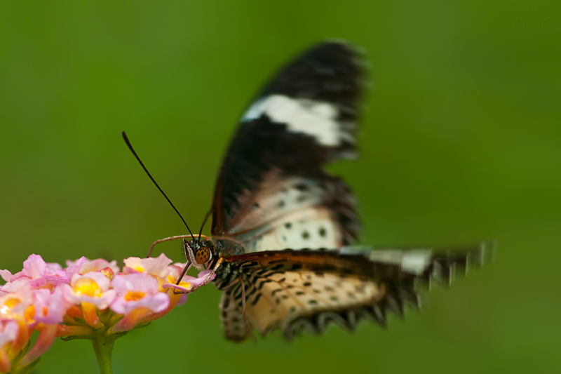 Leopard Lacewing ♀