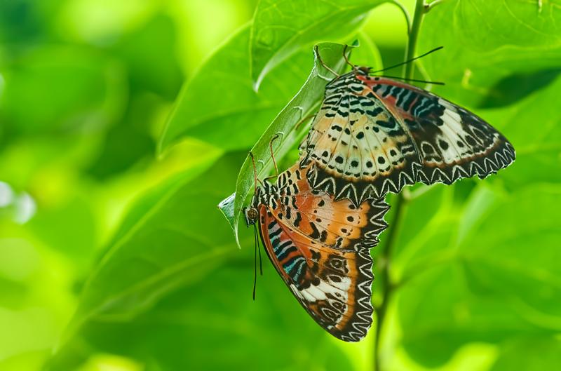Leopard Lacewings