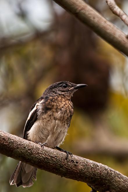 Oriental Magpie Robin (juvenile)