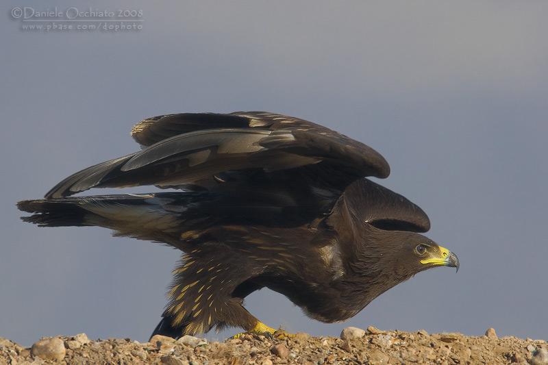 Spotted Eagle (Aquila clanga)