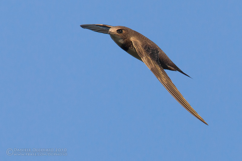 Alpine Swift (Apus melba)