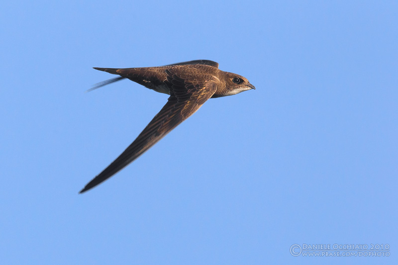Alpine Swift (Apus melba)