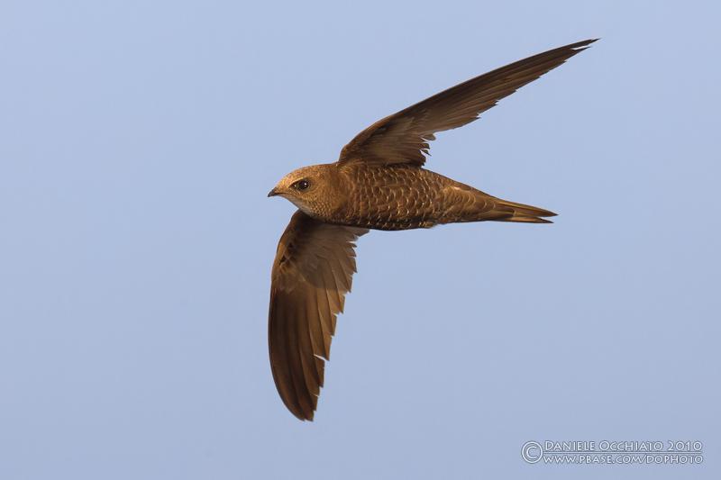 Pallid Swift (Apus pallidus ssp brehemorum)