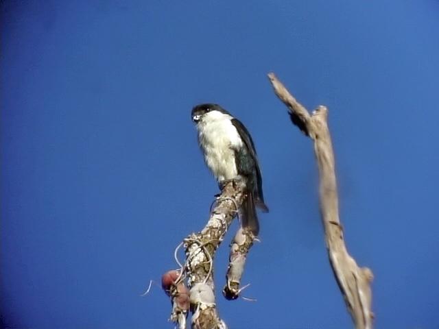 060330 a Philippine falconet Picop.JPG