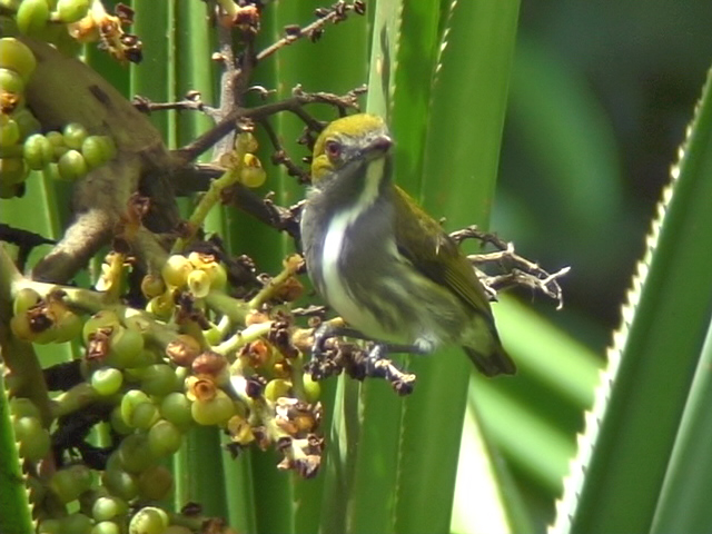060330 j Olive-backed flowerpecker Picop.JPG
