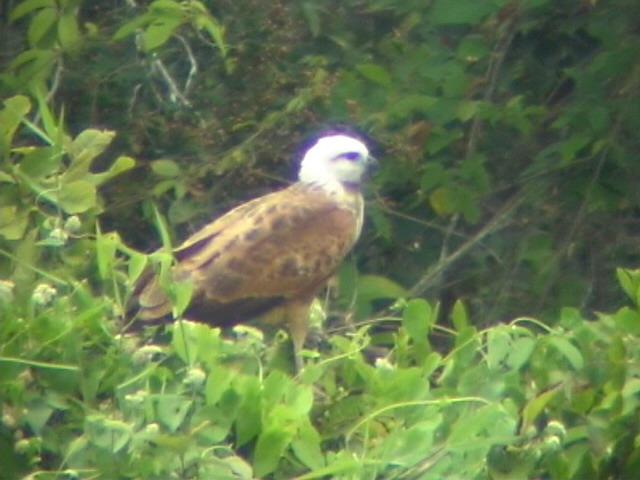 050221 nnn Black-collared hawk W El Palmar.jpg