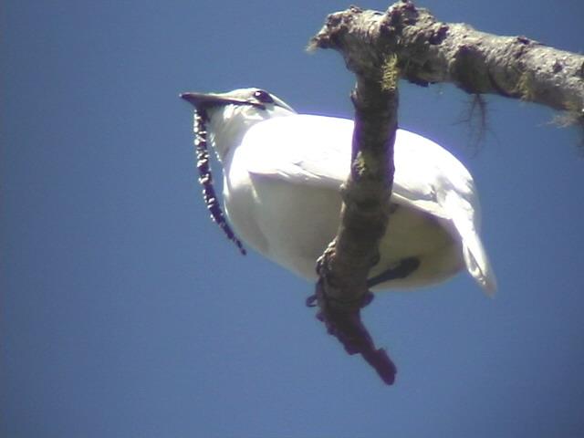 050226 q White bellbird La Escalera.jpg