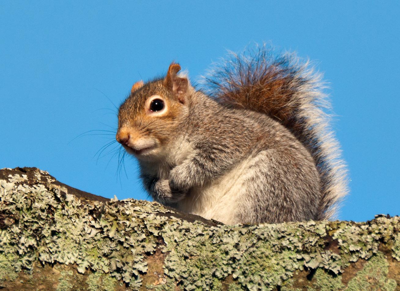 Lichen the squirrel