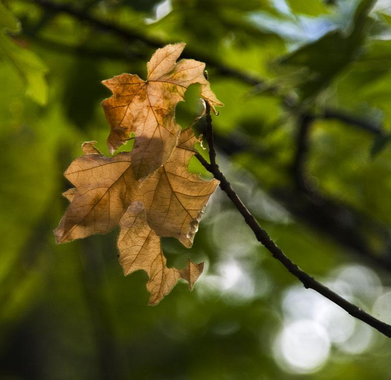 <B>Leaf Light</B> <BR><FONT SIZE=2>Trinity River, August, 2007</FONT>