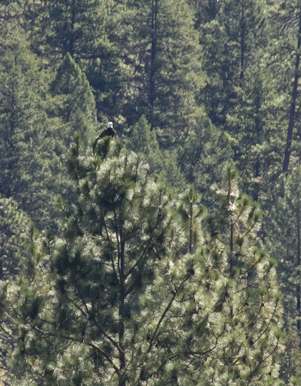 <B>Bald Eagle</B> <BR><FONT SIZE=2>Lewiston Lake, August, 2007</FONT>