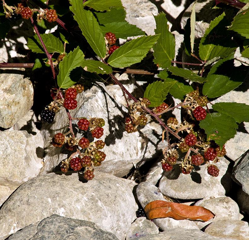<B>Berries</B> <BR><FONT SIZE=2>Lewiston Dam, August, 2007</FONT>