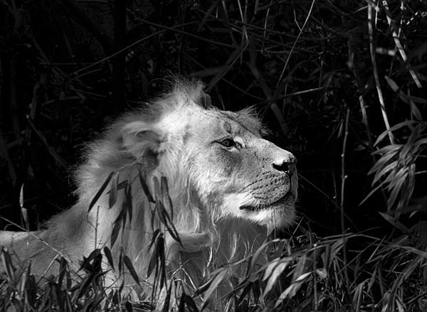 Lion BW