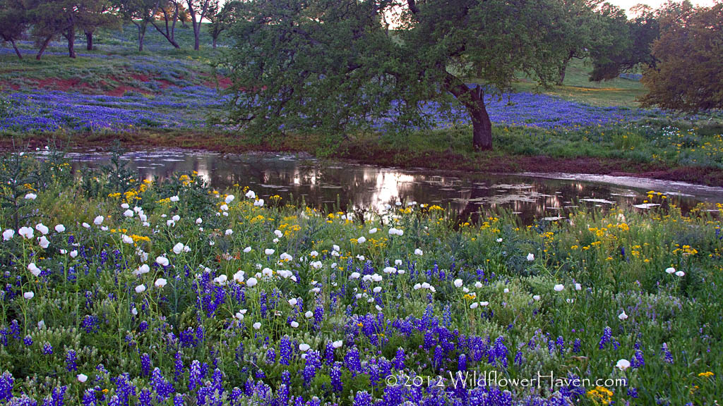 Bluebonnets mixed with other wildflowers